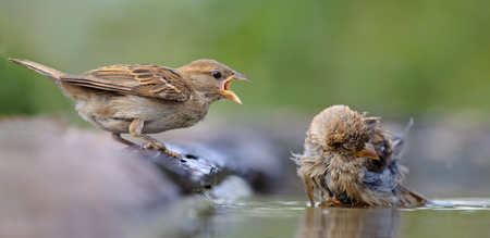 House Sparrows conflict