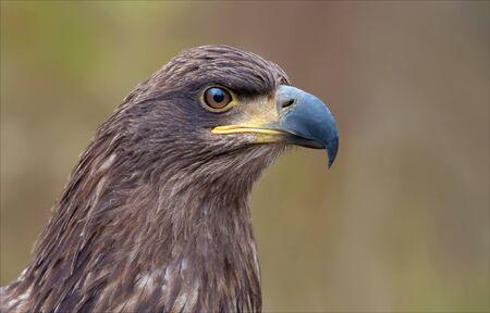 White-tailed eagle portrait Stock Photo