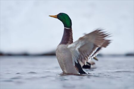 dabbling duck: Mallard flapping wings in winter