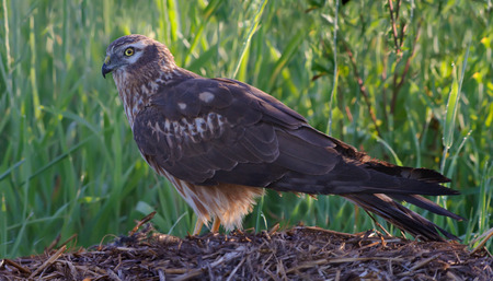 raptorial: Montagus harrier female side view in the morning