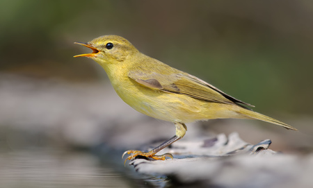 outcry: Willow warbler crying near a waterpond