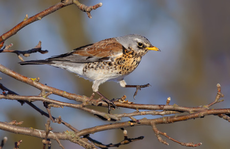 Fieldfare straddling on apple-trees branch