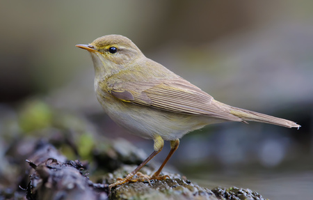 Willow warbler posing near a waterpond 版權商用圖片