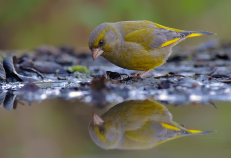 European greenfinch looking at his reflection