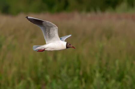 ridibundus: Black-headed gull flying over a riverbank