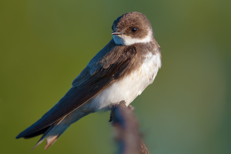 reveille: Sand martin in the early morning Stock Photo