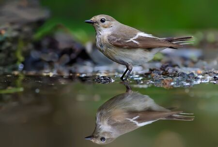 European pied flycatcher standing in water-mirror Stock Photo