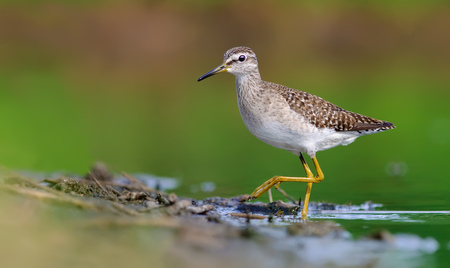 waders: Wood Sandpiper turning to a shore