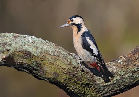 Syrian woodpecker posing on a lichen trunk Stock Photo