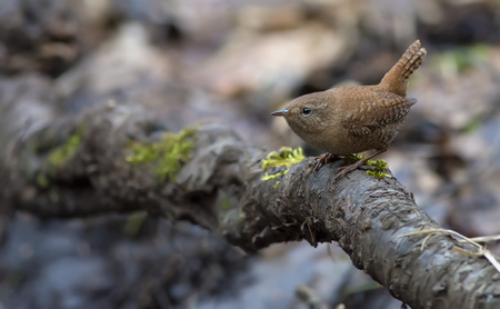 smolder: Eurasian wren lurking in the roots Stock Photo