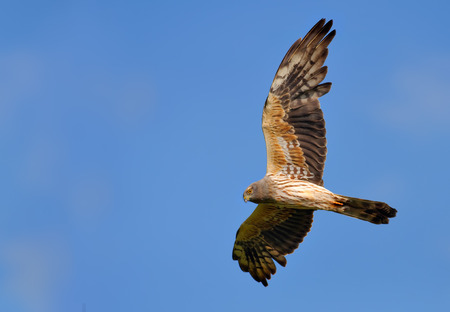 Montagus harrier second year male in flight