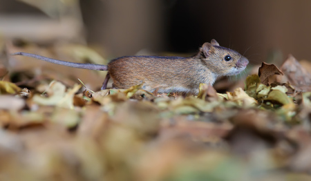 Striped field mouse running through leaves Imagens