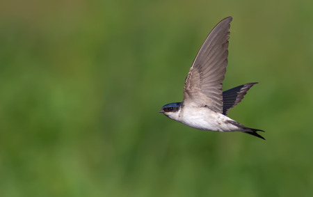 quickness: Common house martin in flight Stock Photo