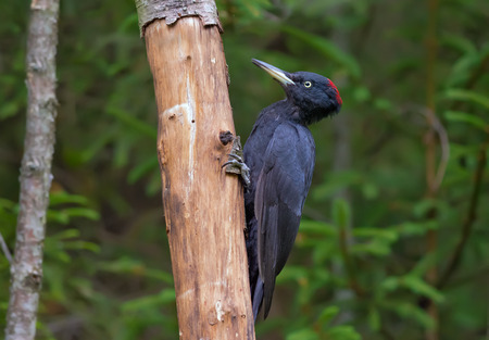 Black woodpecker sitting on a dry trunk Stock Photo