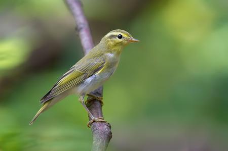 warblers: Wood warbler vertical posture Stock Photo
