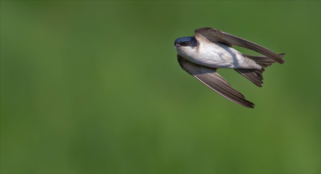 Common house martin in flight 2