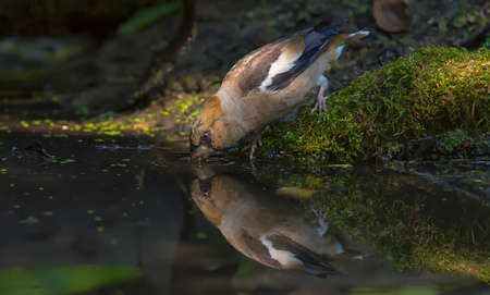 Hawfinch drinking water with reflection