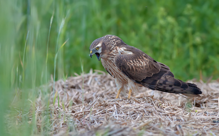 Montagus harrier regurgitation