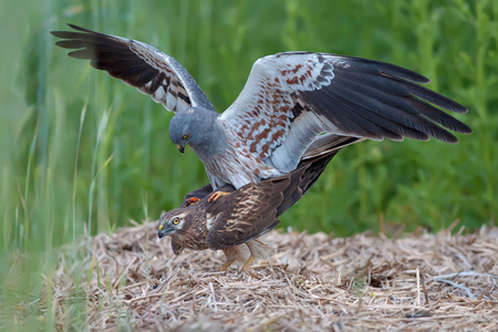 Montagus harrier mating time Stock Photo