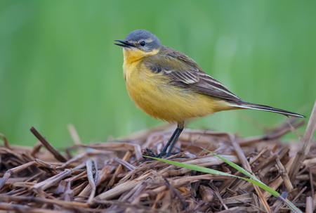 Western yellow wagtail morning call