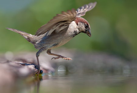 spreaded: House sparrow grand leap into water