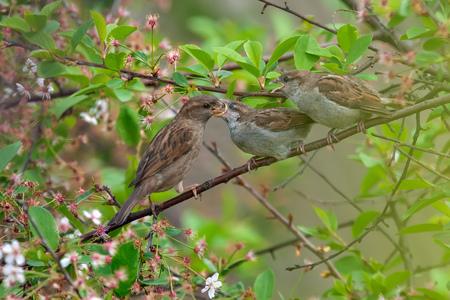 House sparrow mom feeding her babies