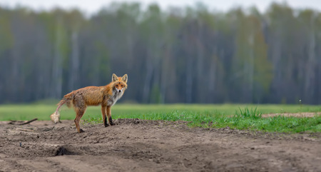 Red fox suffering from mange disease panoramic Stock Photo