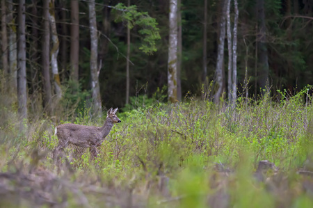 European roe deer standing on a glade Stock Photo