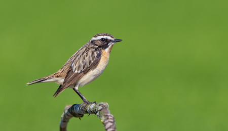 Male Whinchat perched on a tiny stem Stock Photo