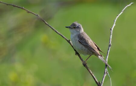 warblers: Barred warbler posing on a spiky branch