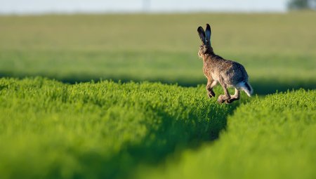 European hare high in the air