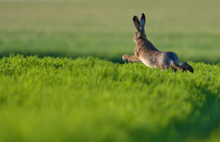 European hare leaping across