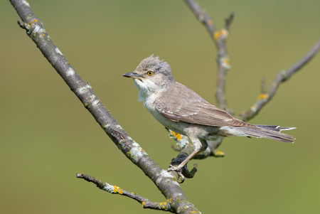 Barred warbler posing on a dry branch Stock Photo