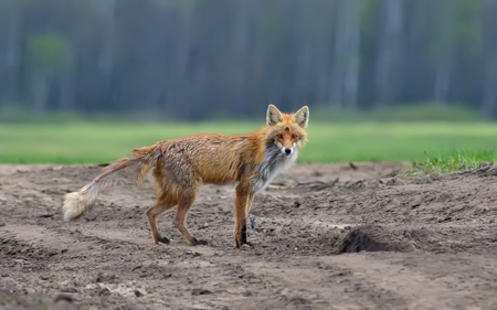 Red fox suffering from mange disease