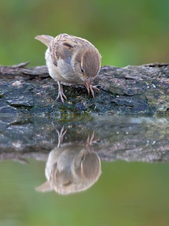 House sparrow looking at water mirror