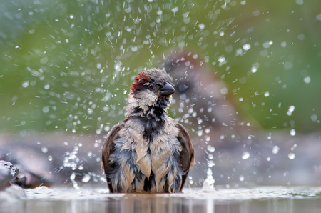 House sparrow bathing with a lot of drips
