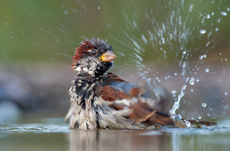 quickness: House sparrow bathing with a lot of splashes