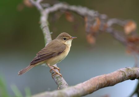 warblers: Marsh warbler perched on a dry branch Stock Photo