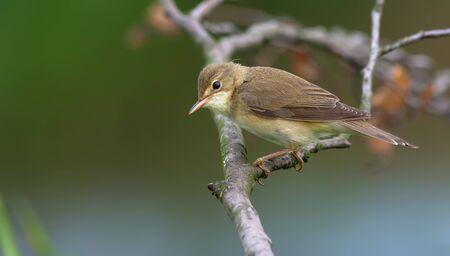 warblers: Marsh warbler posing on a dry branch