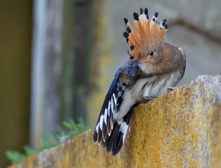 Hoopoe young bird cleaning itself short after leaving the nest