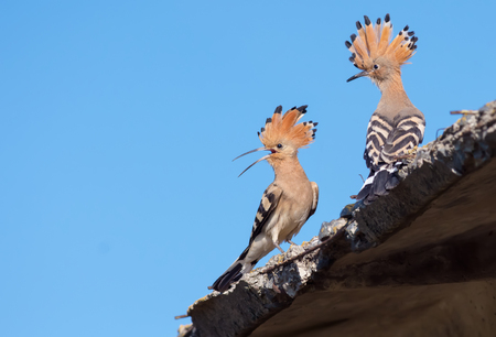 Hoopoes chitchat on a roof Stock Photo