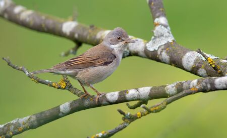 warblers: Common whitethroat perched in branches Stock Photo