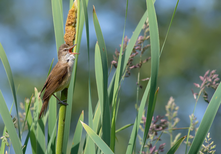 Great reed warbler singing at reedmaces
