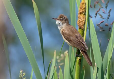 Great reed warbler posing in reedmaces