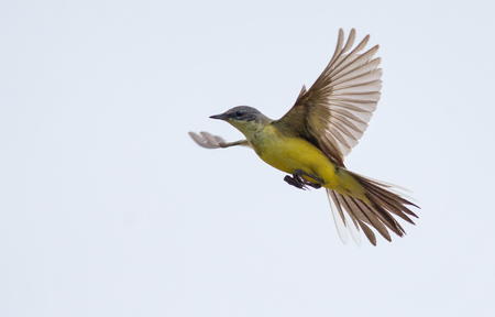 Western yellow wagtail in flight