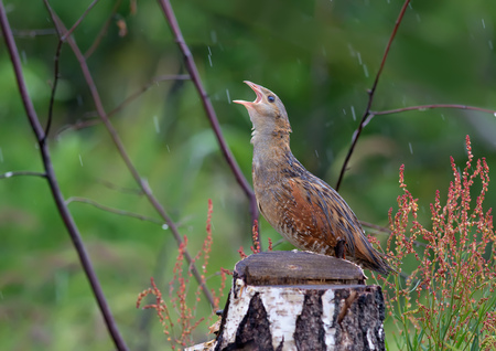 Corn crake singing near a stump