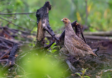 Grey partridge on burnt land