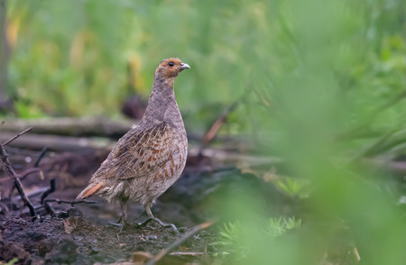 Grey partridge on the plain earth Stock Photo