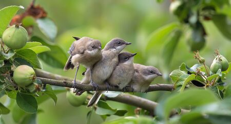 Lesser whitethroats stretching Stock Photo