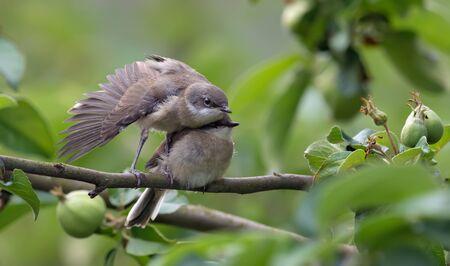 Lesser whitethroats wings training